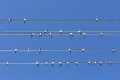 swallows Fotografie Stock