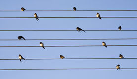Swallows Royalty Free Stock Photo