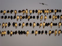 Swallows Fotografia Stock Libera da Diritti