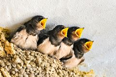 Swallows, babies. In the nest waiting to be fed by their mother royalty free stock image