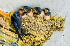 Swallows, babies. In the nest waiting to be fed by their mother royalty free stock photos