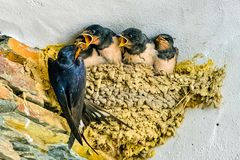 Swallows, babies. In the nest waiting to be fed by their mother royalty free stock photography