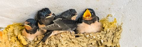 Swallows, babies. In the nest waiting to be fed by their mother stock photos