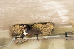 Swallows- baby birds feeding time, nest under eaves. Stock Photos