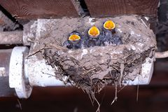 Swallows in bird nest. Young swallow in bird´s nest stock images
