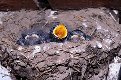 Swallows in bird nest. Young swallows in bird´s nest stock photos