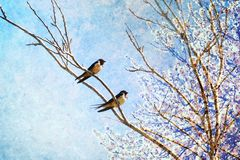 Swallows birds return home on Springtime. Spring nature awaking concept. Swallows on a branch against the blue sky with the almond tree flowering in a royalty free stock photography