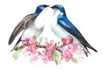 Swallows on the blooming branch watercolor painting illustration isolated on white background greeting card Royalty Free Stock Photos