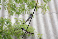 Swallows on a branch!. A couple swallows on a branch Stock Photo