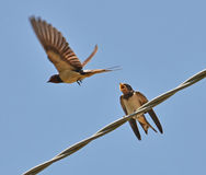 Swallows children Royalty Free Stock Photography