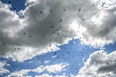 Swallows. On a cloudy summer day a flock of swallows catching insects for their nestlings stock photography