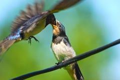 Swallows dei giovani del pranzo Fotografia Stock