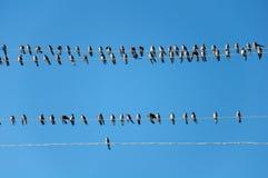 Swallows dei giovani sui collegare Immagini Stock Libere da Diritti