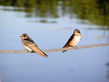 Swallows di granaio immagini stock libere da diritti
