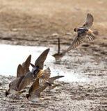 Swallows di granaio di volo in una pozza Fotografia Stock Libera da Diritti