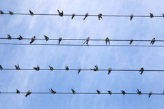 Swallows on electric wires Stock Images
