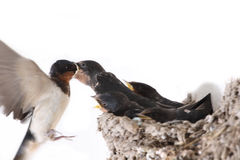 Swallows are feeding. The swallows are feeding in the mud nest stock photography