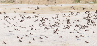 Swallows, flock of birds Royalty Free Stock Photo