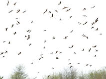 Swallows, flock of  birds isolated on white Royalty Free Stock Image