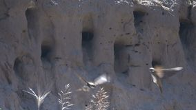 Swallows fly into the nests. Slow Motion. Swallows fly into the nests on a cliff by the river. Slow Motion stock video