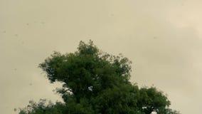 Swallows Hirundo rustica flocking over tree stock footage