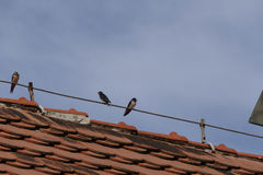 Swallows. Lot of swallows at wire royalty free stock images