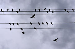 Swallows. Many swallows on wire. Birds on wires remind me of sheet music Royalty Free Stock Image