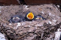 Swallows nel nido dell'uccello Fotografie Stock