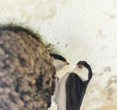 Swallows in nest Royalty Free Stock Image