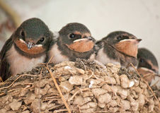 Swallows in a nest. Baby Swallows waits in their nest for their mother returns with their foods royalty free stock photography