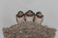 Swallows on the nest. Three funny swallow chicks in a nest Stock Photos