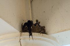 Swallows into the nest three little swallows and the mother. Family birds pets hungry feed Yellow beak black plumage life new life procreation royalty free stock photography