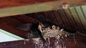 Swallows nest under roof at Danube delta. A swallow feeding its young at the nest built under roof at Danube delta in Romania royalty free stock photo