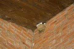 Swallows nest Royalty Free Stock Photo