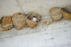 Swallows nests. Swallows rebuild their nests destroyed by heavy rains Stock Photography