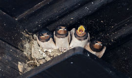 Swallows offspring in a nest Stock Image
