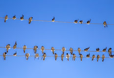 Swallows On A Wire Royalty Free Stock Images