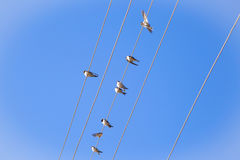 Swallows On A Wire Stock Image