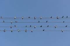 Swallows On Power Lines Royalty Free Stock Image