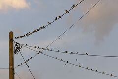 Swallows on power lines Stock Photos