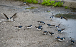 The swallows after the rain. Swallows play after the rain in the puddle (Skadar Lake, Montenegro Royalty Free Stock Photography