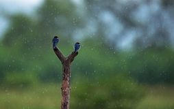 Swallows in rain. Wire tailed swallows on a tree branch in rain Stock Image