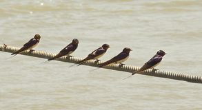 Swallows rest on cable above the river Po Stock Photo