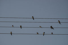 Swallows are sitting on the electrical wire, blue sky background. Small birds resting. Estonian national bird. Royalty Free Stock Photos
