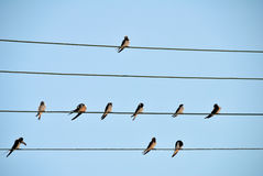 Swallows sitting on the wires Stock Photo