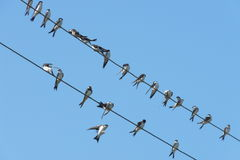 Swallows. Sitting on wires electric poles royalty free stock photos