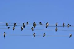 Swallows Stock Photos