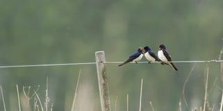 Swallows. On a string denmark royalty free stock photos