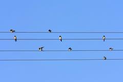Swallows sui cavi. Fotografie Stock