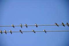 Swallows sui collegare Fotografie Stock